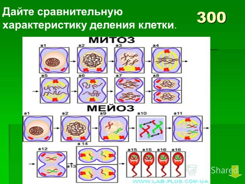 300 Дайте сравнительную характеристику деления клетки.