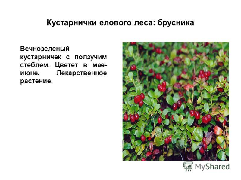 Кустарнички елового леса: брусника Вечнозеленый кустарничек с ползучим стеблем. Цветет в мае- июне. Лекарственное растение.