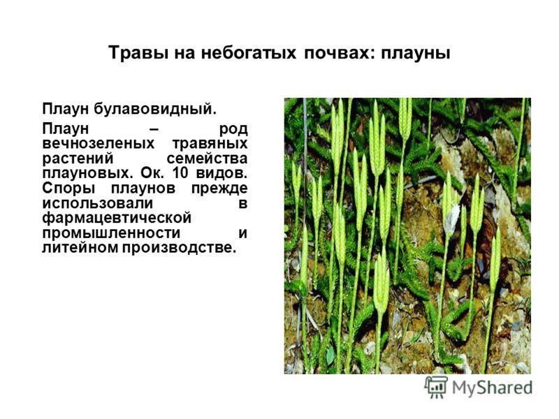 Травы на небогатых почвах: плауны Плаун булавовидный. Плаун – род вечнозеленых травяных растений семейства плауновых. Ок. 10 видов. Споры плаунов прежде использовали в фармацевтической промышленности и литейном производстве.
