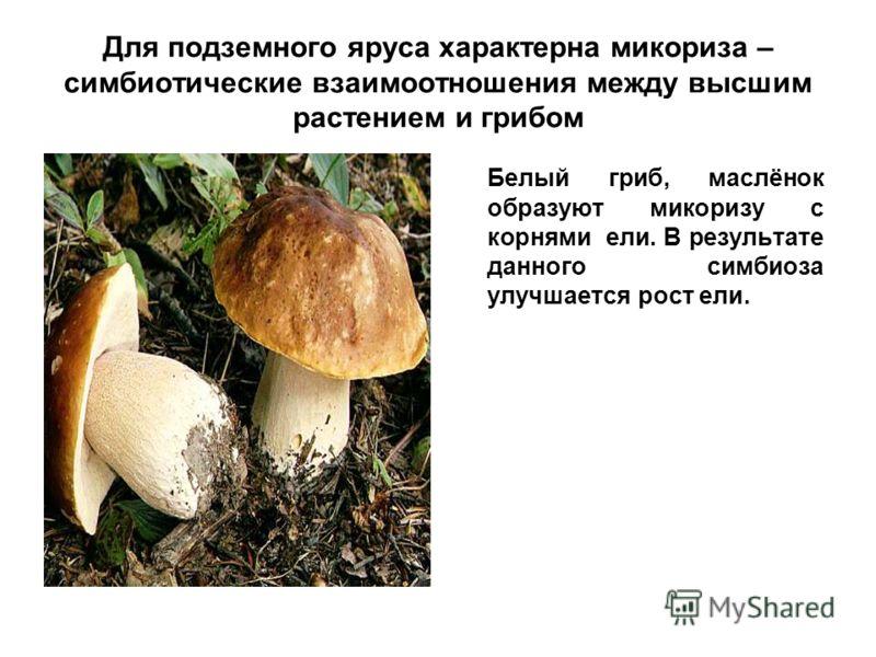 Для подземного яруса характерна микориза – симбиотические взаимоотношения между высшим растением и грибом Белый гриб, маслёнок образуют микоризу с корнями ели. В результате данного симбиоза улучшается рост ели.