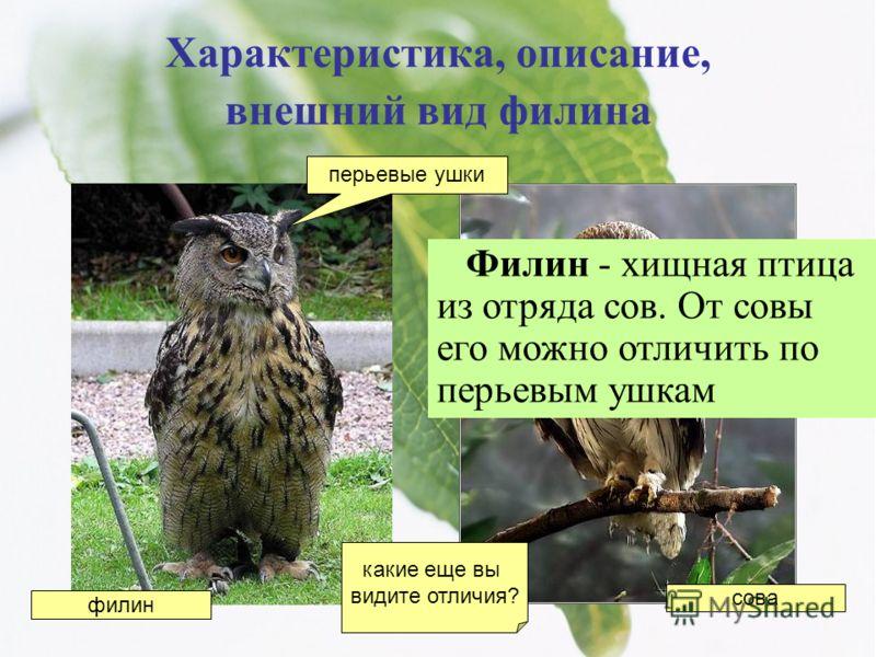 Характеристика, описание, внешний вид филина Филин - хищная птица из отряда сов. От совы его можно отличить по перьевым ушкам перьевые ушки филин сова какие еще вы видите отличия?