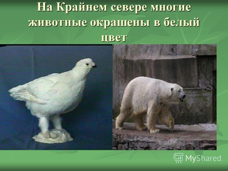На Крайнем севере многие животные окрашены в белый цвет