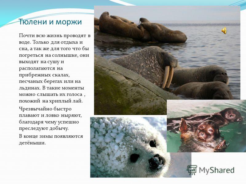 Тюлени и моржи Почти всю жизнь проводят в воде. Только для отдыха и сна, а так же для того что бы погреться на солнышке, они выходят на сушу и располагаются на прибрежных скалах, песчаных берегах или на льдинах. В такие моменты можно слышать их голос