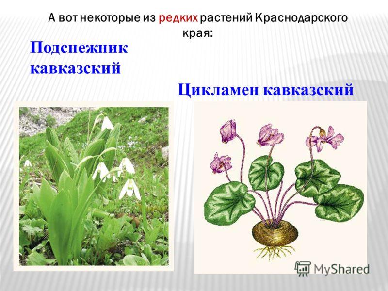 А вот некоторые из редких растений Краснодарского края: Подснежник кавказский Цикламен кавказский