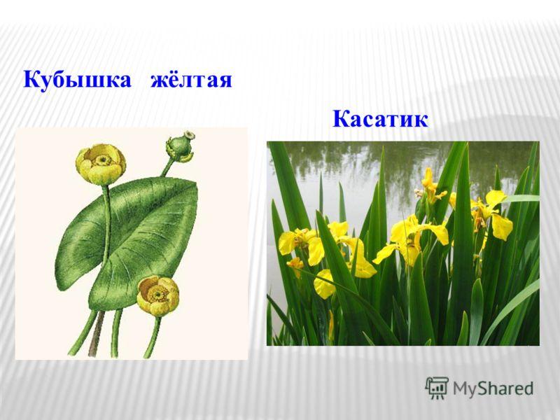 Кубышка жёлтая Касатик