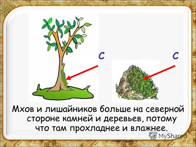 Мхов и лишайников больше на северной стороне камней и деревьев, потому что там прохладнее и влажнее. СС