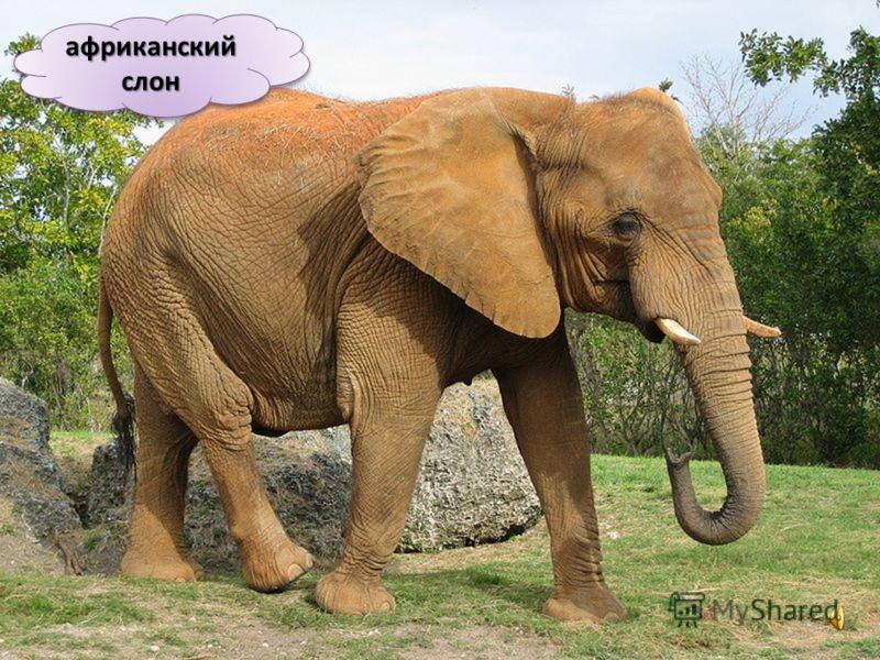 Саванна это африканская степь, покрытая редкими кустарниками и деревьями. В саванне водятся крупные и мелкие птицы, которые гнездятся прямо на земле. В саванне водится самая крупная птица в мире африканский страус. Это большая и тяжелая птица, котора