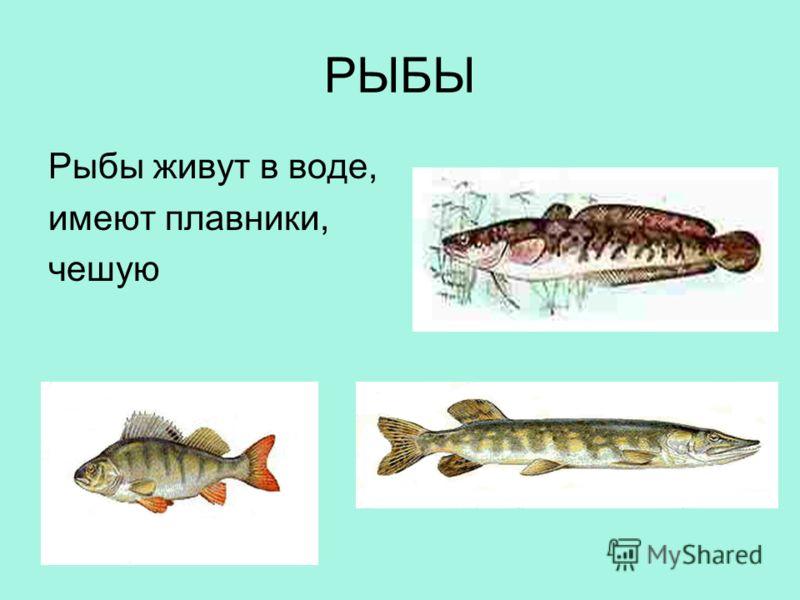 РЫБЫ Рыбы живут в воде, имеют плавники, чешую