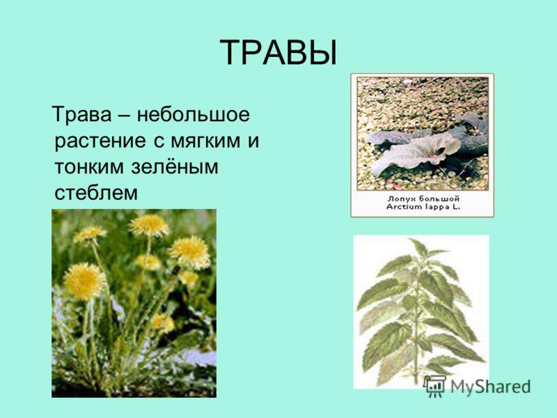 ТРАВЫ Трава – небольшое растение с мягким и тонким зелёным стеблем