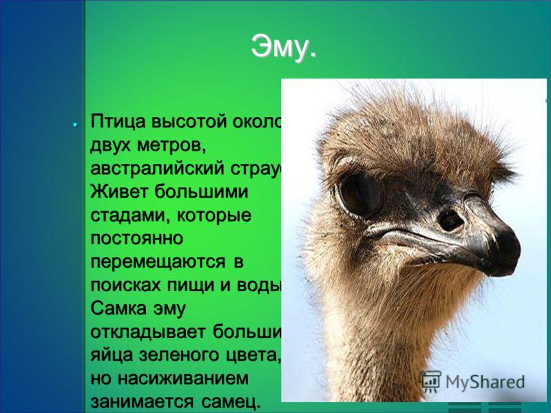 Эму. Птица высотой около двух метров, австралийский страус. Живет большими стадами, которые постоянно перемещаются в поисках пищи и воды. Самка эму откладывает большие яйца зеленого цвета, но насиживанием занимается самец. Птица высотой около двух ме