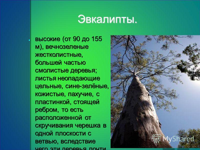 Эвкалипты. высокие (от 90 до 155 м), вечнозеленые жестколистные, большей частью смолистые деревья; листья неопадающие цельные, сине-зелёные, кожистые, пахучие, с пластинкой, стоящей ребром, то есть расположенной от скручивания черешка в одной плоскос