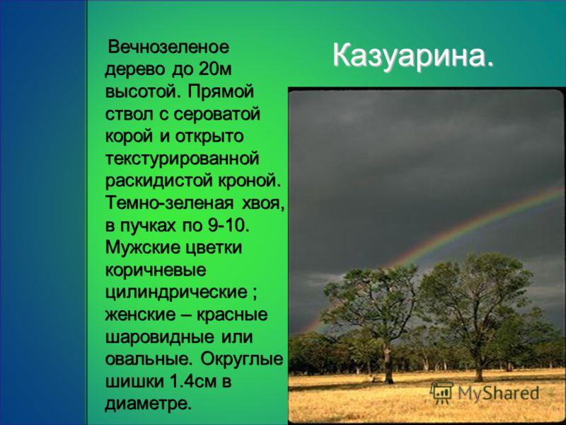 Казуарина. Вечнозеленое дерево до 20м высотой. Прямой ствол с сероватой корой и открыто текстурированной раскидистой кроной. Темно-зеленая хвоя, в пучках по 9-10. Мужские цветки коричневые цилиндрические ; женские – красные шаровидные или овальные. О