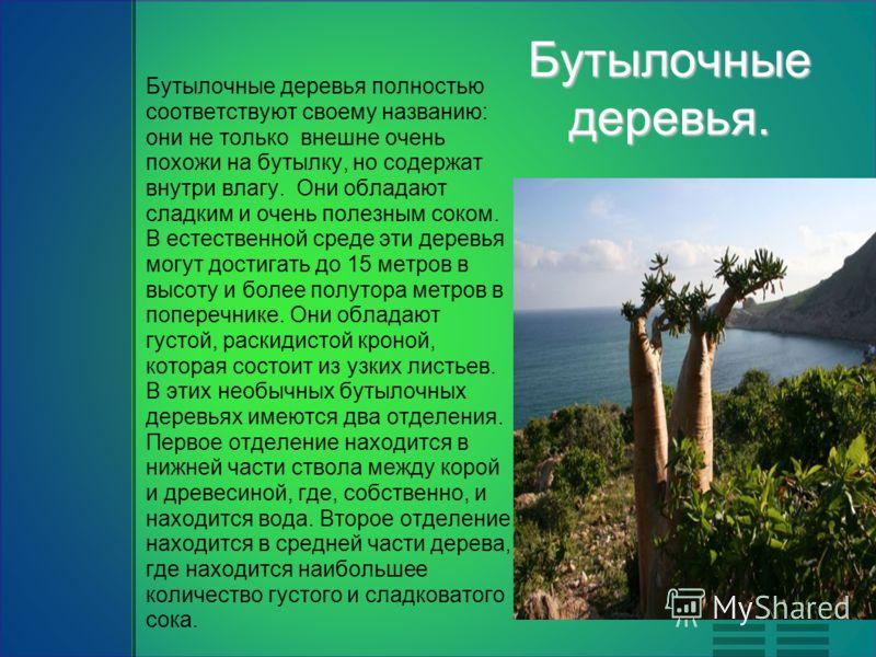 Бутылочные деревья. Бутылочные деревья полностью соответствуют своему названию: они не только внешне очень похожи на бутылку, но содержат внутри влагу. Они обладают сладким и очень полезным соком. В естественной среде эти деревья могут достигать до 1