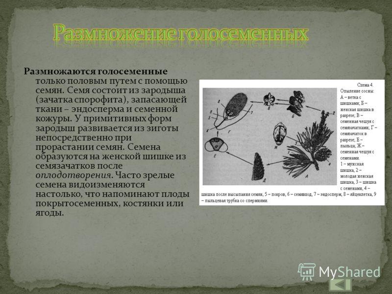 Все голосеменные – разноспоровые растения; микроспорофиллы и макроспорофиллы сильно различаются по форме, размерам и строению. У наиболее примитивных семенных папоротников они свободно росли на обычных побегах; у всех остальных голосеменных они наход