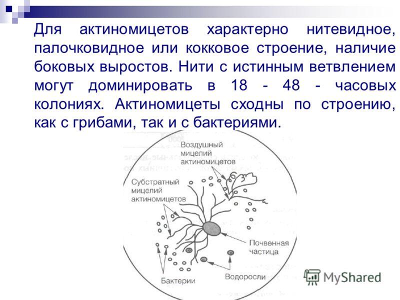 Для актиномицетов характерно нитевидное, палочковидное или кокковое строение, наличие боковых выростов. Нити с истинным ветвлением могут доминировать в 18 - 48 - часовых колониях. Актиномицеты сходны по строению, как с грибами, так и с бактериями.