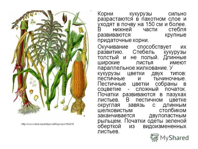 Корни кукурузы сильно разрастаются в пахотном слое и уходят в почву на 150 см и более. В нижней части стебля развиваются крупные придаточные корни. Окучивание способствует их развитию. Стебель кукурузы толстый и не полый. Длинные широкие листья имеют
