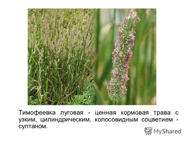 Тимофеевка луговая - ценная кормовая трава с узким, цилиндрическим, колосовидным соцветием - султаном.