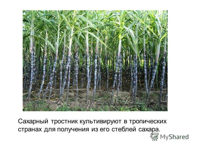 Сахарный тростник культивируют в тропических странах для получения из его стеблей сахара. http://fitoapteka.org/herbs-s/2958-saharnui-trostnik