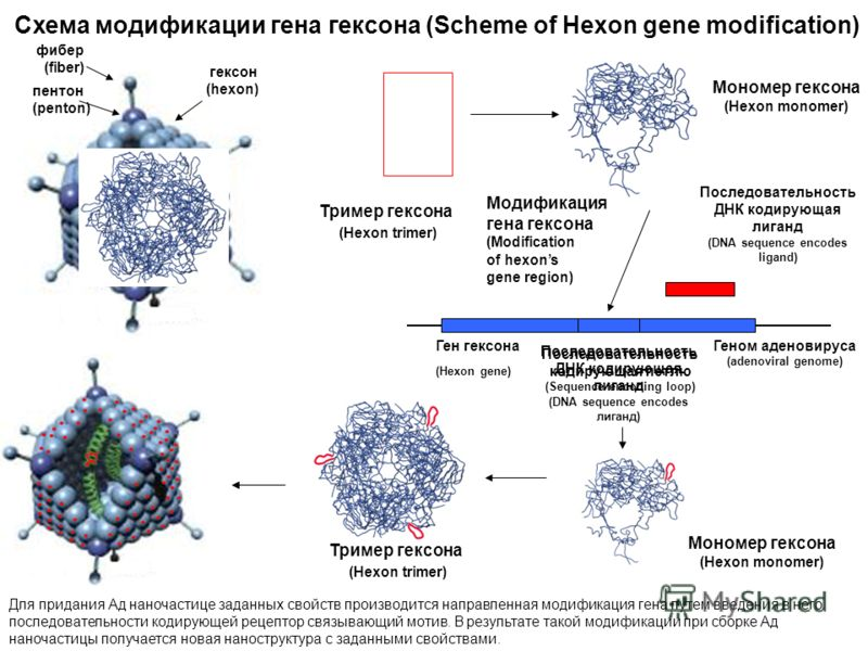 Схема модификации гена гексона (Scheme of Hexon gene modification) Ген гексона (Hexon gene) гексон (hexon) фибер (fiber) пентон (penton) Модификация гена гексона (Modification of hexons gene region) Геном аденовируса (аdenoviral genome) Последователь