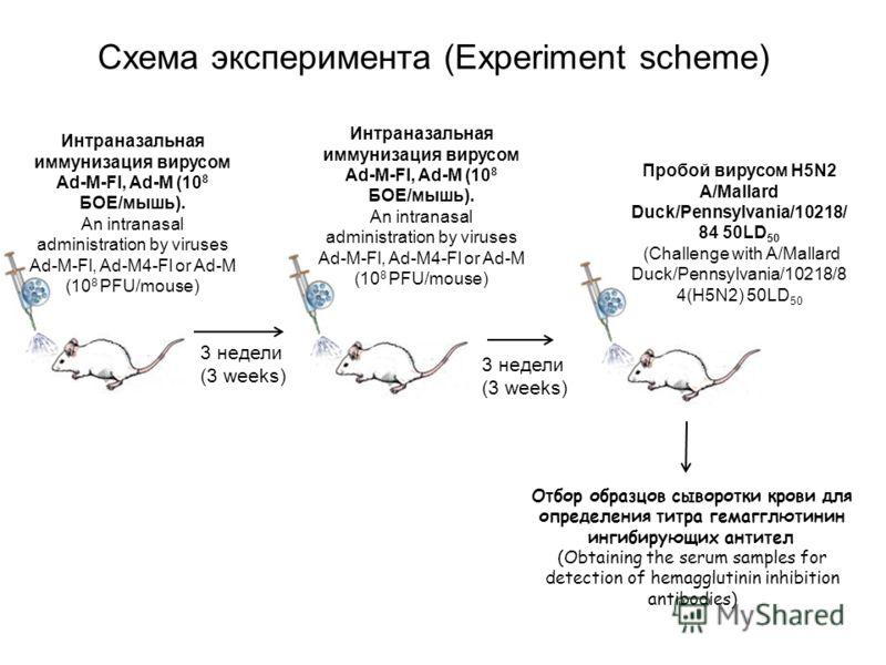Интраназальная иммунизация вирусом Ad-M-Fl, Ad-M (10 8 БОЕ/мышь). An intranasal administration by viruses Ad-M-Fl, Ad-M4-Fl or Ad-M (10 8 PFU/mouse) 3 недели (3 weeks) Схема эксперимента (Experiment scheme) Интраназальная иммунизация вирусом Ad-M-Fl,
