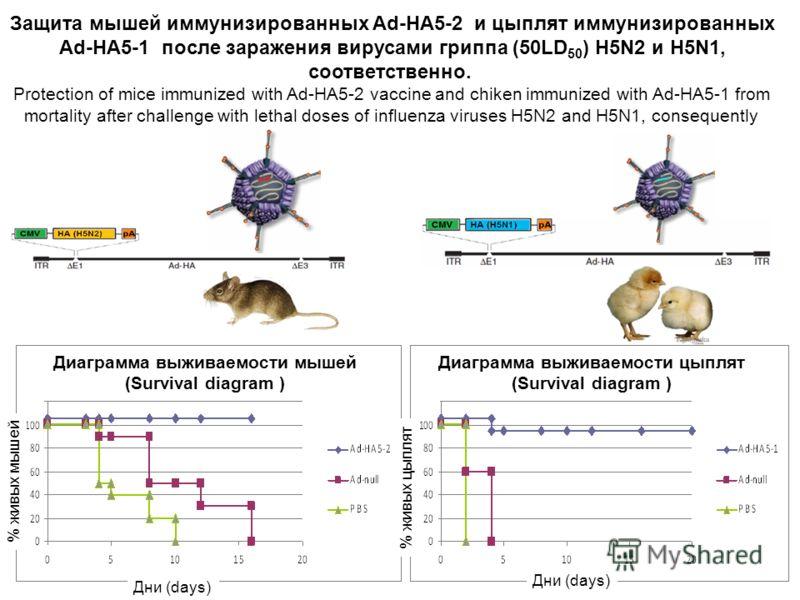 Защита мышей иммунизированных Ad-HA5-2 и цыплят иммунизированных Ad-HA5-1 после заражения вирусами гриппа (50LD 50 ) H5N2 и H5N1, соответственно. Protection of mice immunized with Ad-HA5-2 vaccine and chiken immunized with Ad-HA5-1 from mortality aft