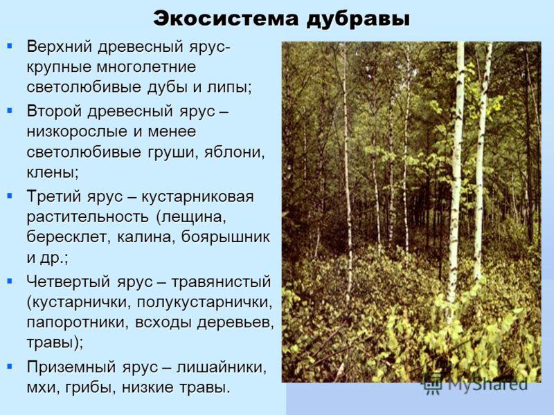 Экосистема дубравы Верхний древесный ярус- крупные многолетние светолюбивые дубы и липы; Верхний древесный ярус- крупные многолетние светолюбивые дубы и липы; Второй древесный ярус – низкорослые и менее светолюбивые груши, яблони, клены; Второй древе