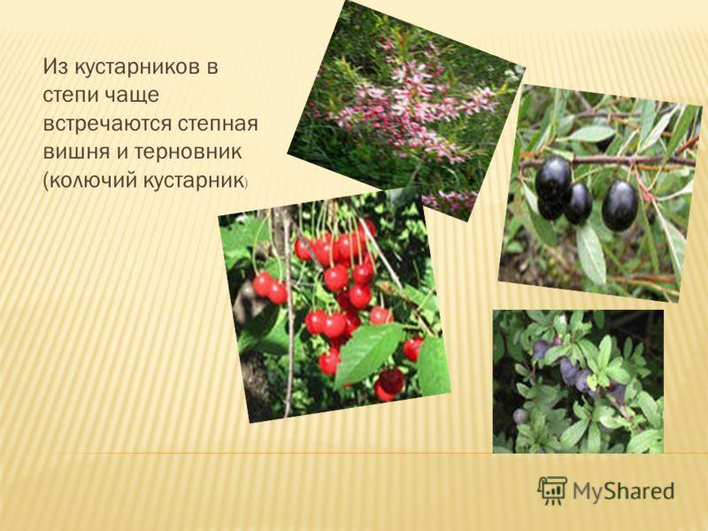 Из кустарников в степи чаще встречаются степная вишня и терновник (колючий кустарник )