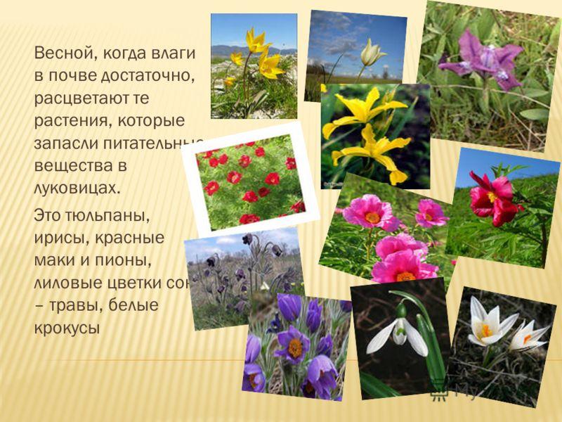Весной, когда влаги в почве достаточно, расцветают те растения, которые запасли питательные вещества в луковицах. Это тюльпаны, ирисы, красные маки и пионы, лиловые цветки сон – травы, белые крокусы