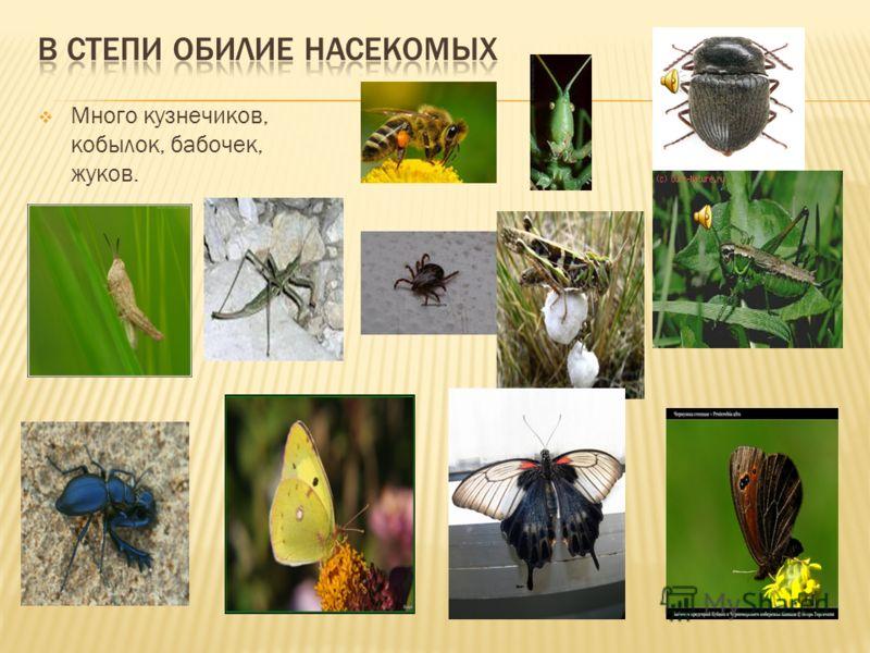 Много кузнечиков, кобылок, бабочек, жуков.