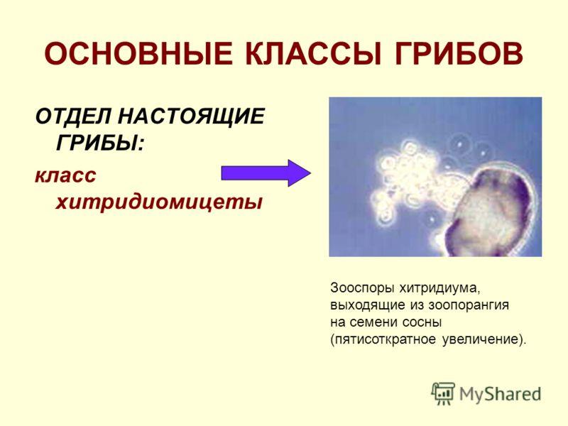 ОСНОВНЫЕ КЛАССЫ ГРИБОВ ОТДЕЛ НАСТОЯЩИЕ ГРИБЫ: класс хитридиомицеты Зооспоры хитридиума, выходящие из зоопорангия на семени сосны (пятисоткратное увеличение).