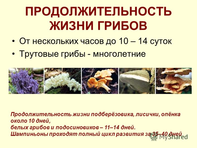 ПРОДОЛЖИТЕЛЬНОСТЬ ЖИЗНИ ГРИБОВ От нескольких часов до 10 – 14 суток Трутовые грибы - многолетние Продолжительность жизни подберёзовика, лисички, опёнка около 10 дней, белых грибов и подосиновиков – 11–14 дней. Шампиньоны проходят полный цикл развития