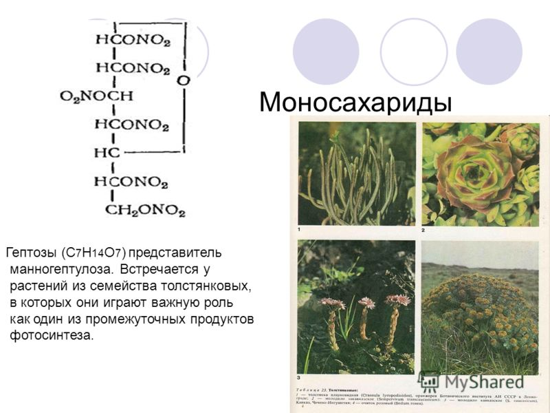 Гептозы (С 7 Н 14 О 7 ) представитель манногептулоза. Встречается у растений из семейства толстянковых, в которых они играют важную роль как один из промежуточных продуктов фотосинтеза. Моносахариды
