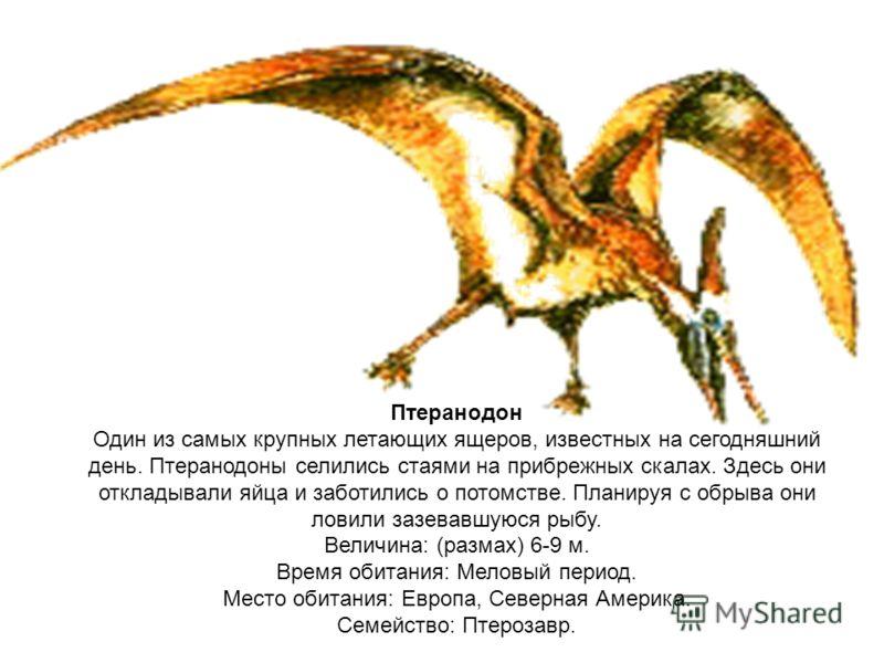 Птеранодон Один из самых крупных летающих ящеров, известных на сегодняшний день. Птеранодоны селились стаями на прибрежных скалах. Здесь они откладывали яйца и заботились о потомстве. Планируя с обрыва они ловили зазевавшуюся рыбу. Величина: (размах)