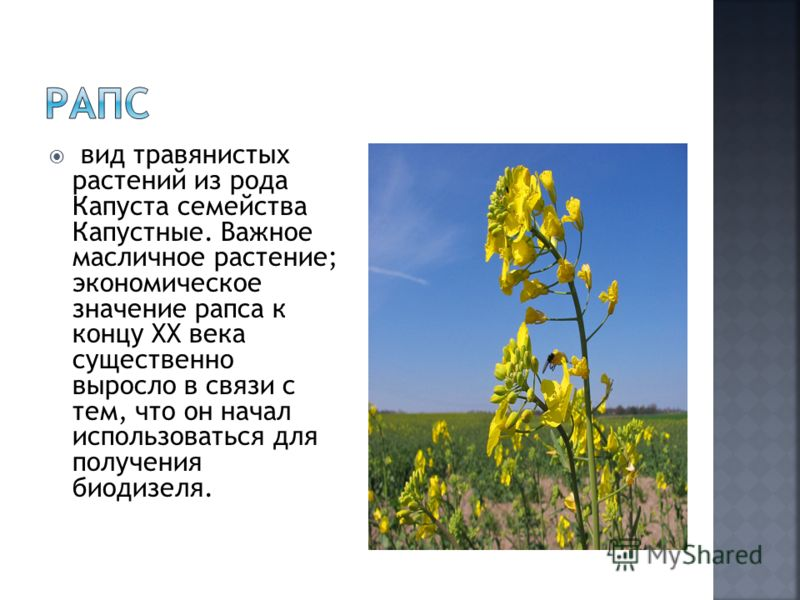 вид травянистых растений из рода Капуста семейства Капустные. Важное масличное растение; экономическое значение рапса к концу XX века существенно выросло в связи с тем, что он начал использоваться для получения биодизеля.