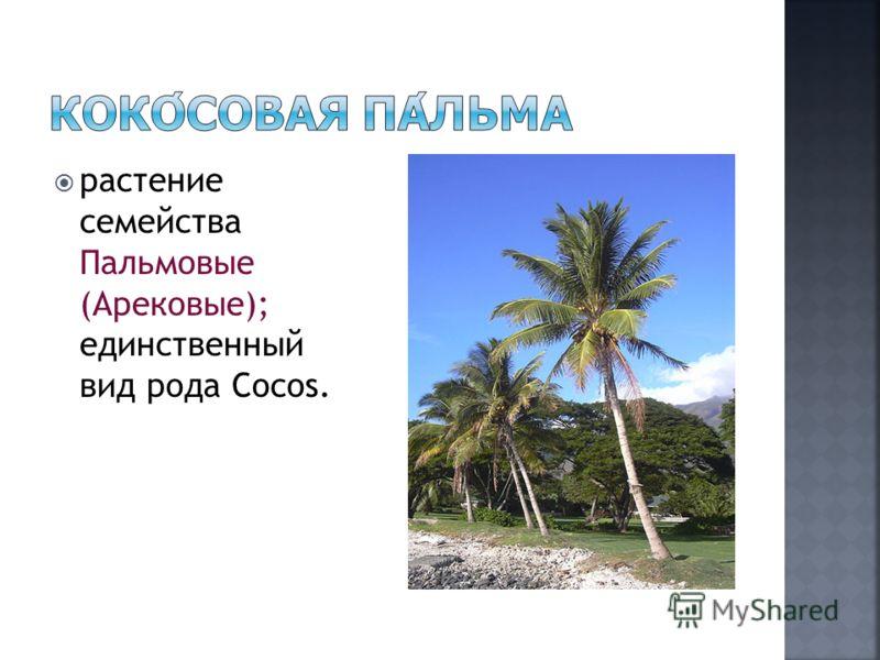 растение семейства Пальмовые (Арековые); единственный вид рода Cocos.