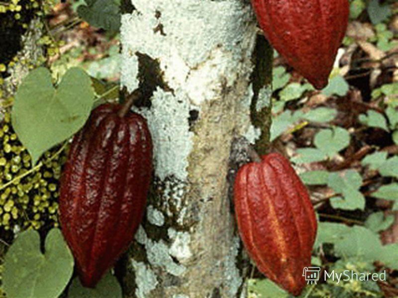 Плоды какао Лианы