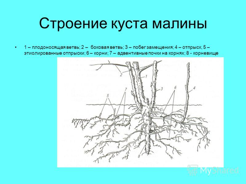 Строение куста малины 1 – плодоносящая ветвь; 2 – боковая ветвь; 3 – побег замещения; 4 – отпрыск, 5 – этиолированные отпрыски; 6 – корни; 7 – адвентивные почки на корнях; 8 - корневище