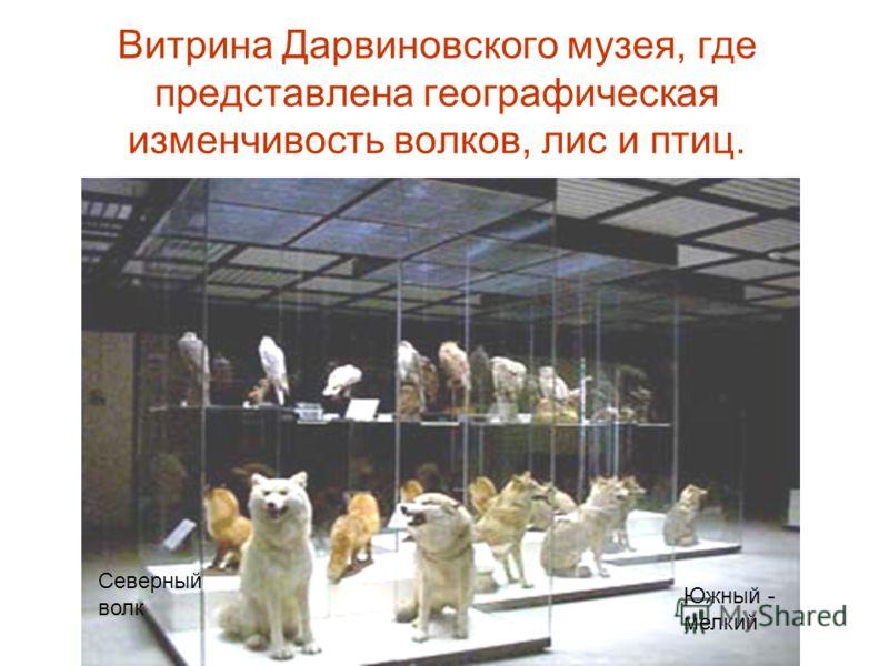 Витрина Дарвиновского музея, где представлена географическая изменчивость волков, лис и птиц. Северный волк Южный - мелкий