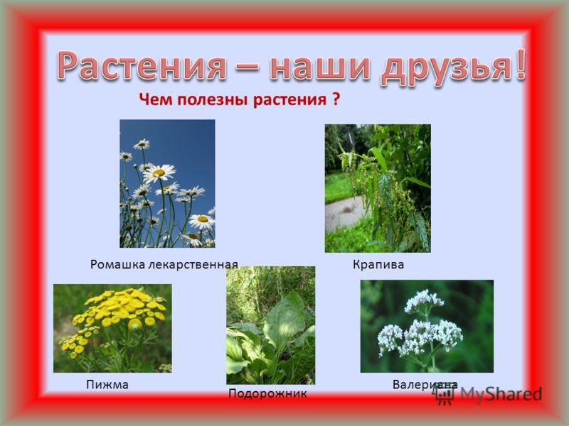 Чем полезны растения ? Ромашка лекарственнаяКрапива Пижма Подорожник Валериана