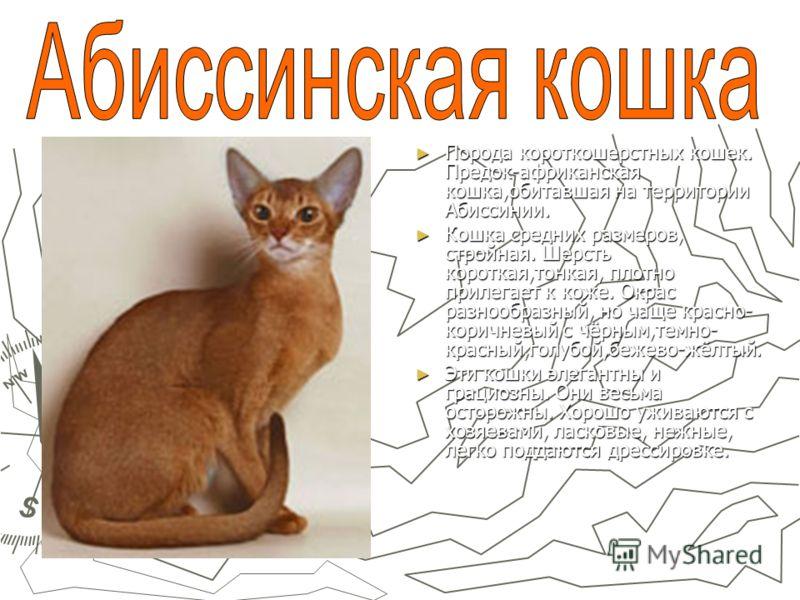 Порода короткошерстных кошек. Предок-африканская кошка,обитавшая на территории Абиссинии. Кошка средних размеров, стройная. Шерсть короткая,тонкая, плотно прилегает к коже. Окрас разнообразный, но чаще красно- коричневый с чёрным,темно- красный,голуб