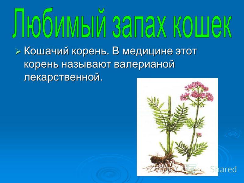 Кошачий корень. В медицине этот корень называют валерианой лекарственной. Кошачий корень. В медицине этот корень называют валерианой лекарственной.