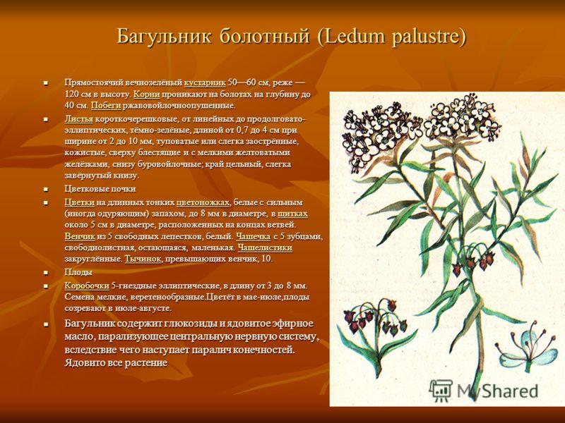 Багульник болотный (Ledum palustre) Прямостоячий вечнозелёный кустарник 5060 см, реже 120 см в высоту. Корни проникают на болотах на глубину до 40 см. Побеги ржавовойлочноопушенные. Прямостоячий вечнозелёный кустарник 5060 см, реже 120 см в высоту. К