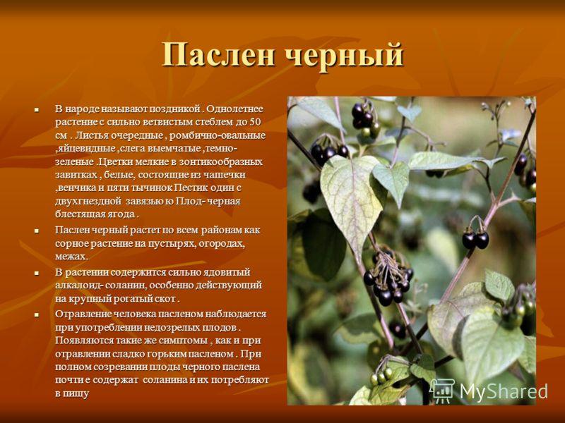 Паслен черный В народе называют поздникой. Однолетнее растение с сильно ветвистым стеблем до 50 см. Листья очередные, ромбично-овальные,яйцевидные,слега выемчатые,темно- зеленые.Цветки мелкие в зонтикообразных завитках, белые, состоящие из чашечки,ве