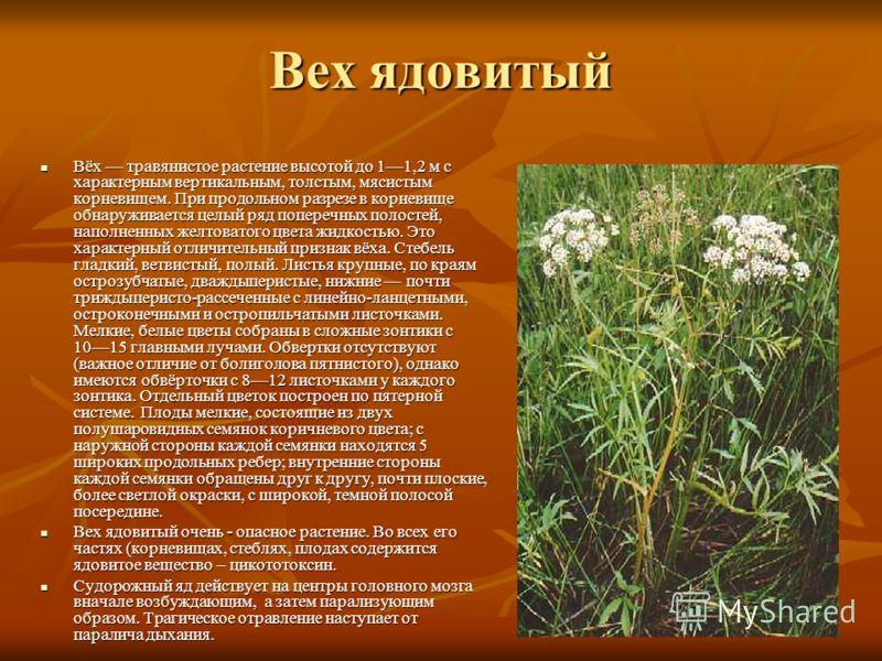 Вех ядовитый Вёх травянистое растение высотой до 11,2 м с характерным вертикальным, толстым, мясистым корневищем. При продольном разрезе в корневище обнаруживается целый ряд поперечных полостей, наполненных желтоватого цвета жидкостью. Это характерны