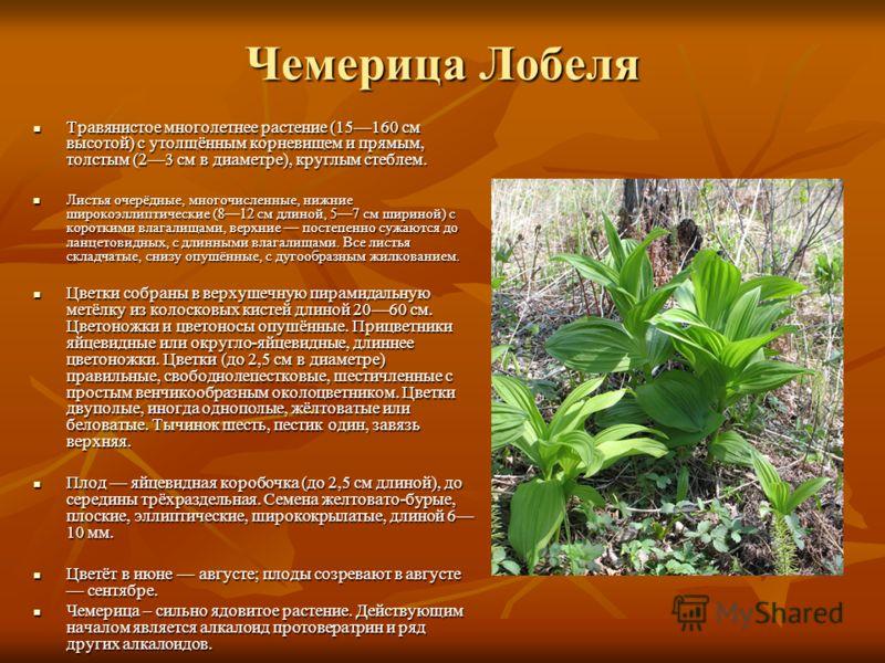 Чемерица Лобеля Травянистое многолетнее растение (15160 см высотой) с утолщённым корневищем и прямым, толстым (23 см в диаметре), круглым стеблем. Травянистое многолетнее растение (15160 см высотой) с утолщённым корневищем и прямым, толстым (23 см в