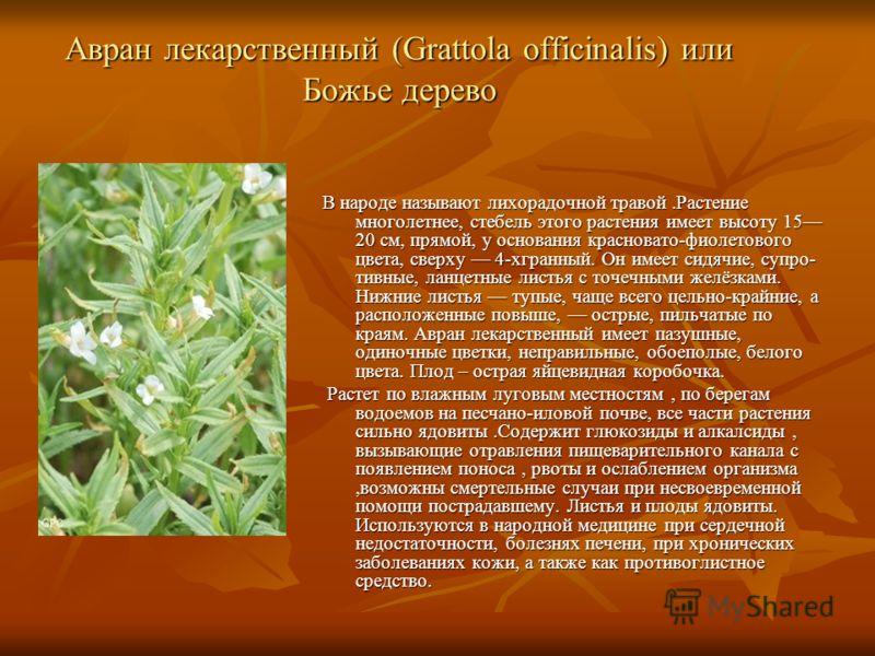 Авран лекарственный (Grattola officinalis) или Божье дерево В народе называют лихорадочной травой.Растение многолетнее, стебель этого растения имеет высоту 15 20 см, прямой, у основания красновато-фиолетового цвета, сверху 4-хгранный. Он имеет сидяч