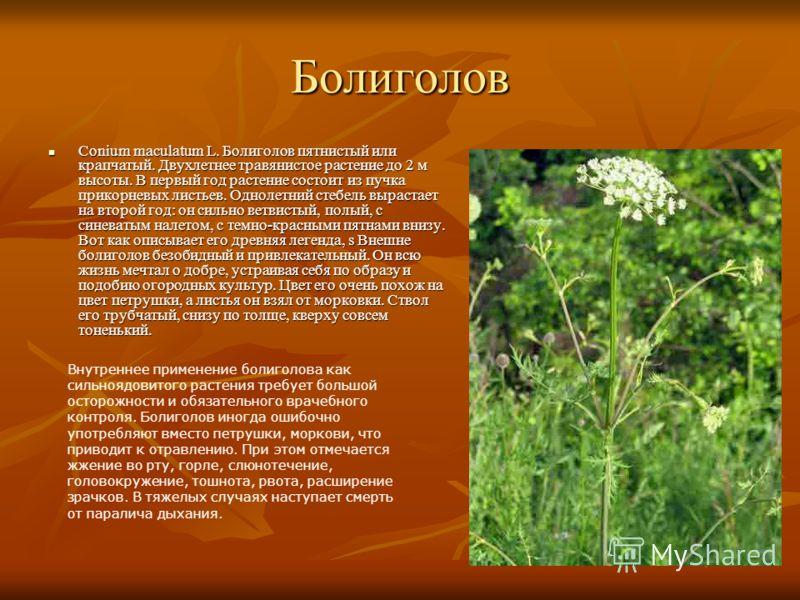Болиголов Conium maculatum L. Болиголов пятнистый или крапчатый. Двухлетнее травянистое растение до 2 м высоты. В первый год растение состоит из пучка прикорневых листьев. Однолетний стебель вырастает на второй год: он сильно ветвистый, полый, с сине