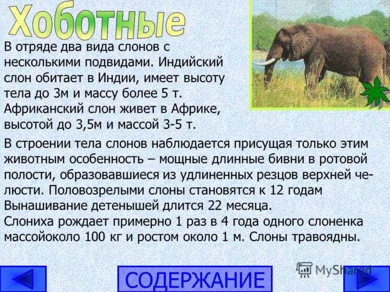 СОДЕРЖАНИЕ В отряде два вида слонов с несколькими подвидами. Индийский слон обитает в Индии, имеет высоту тела до 3м и массу более 5 т. Африканский слон живет в Африке, высотой до 3,5м и массой 3-5 т. В строении тела слонов наблюдается присущая тольк