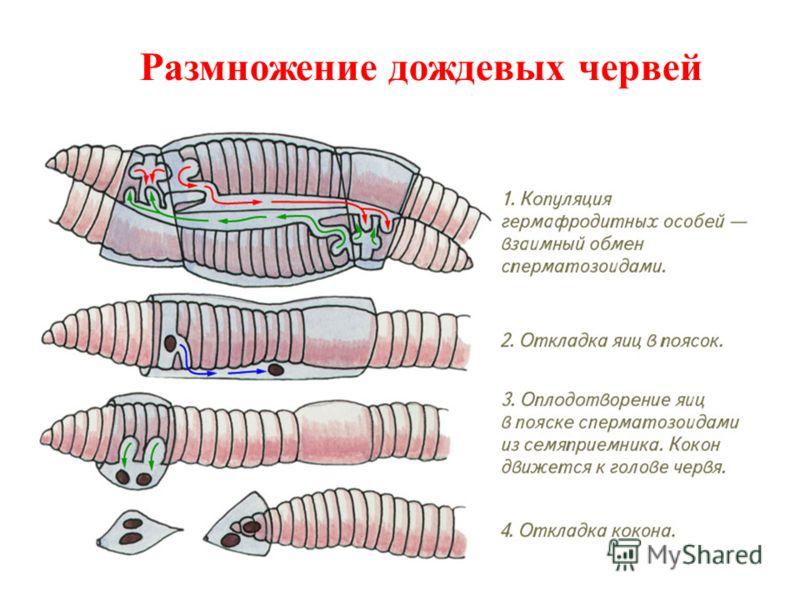 Размножение дождевых червей