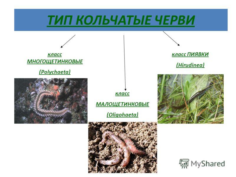 ТИП КОЛЬЧАТЫЕ ЧЕРВИ класс МНОГОЩЕТИНКОВЫЕ (Polychaeta) класс ПИЯВКИ (Hirudinea) класс МАЛОЩЕТИНКОВЫЕ (Oligohaeta)